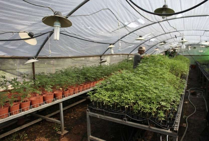 Worker tends to cannabis plants at a growing facility near the northern city of Safed