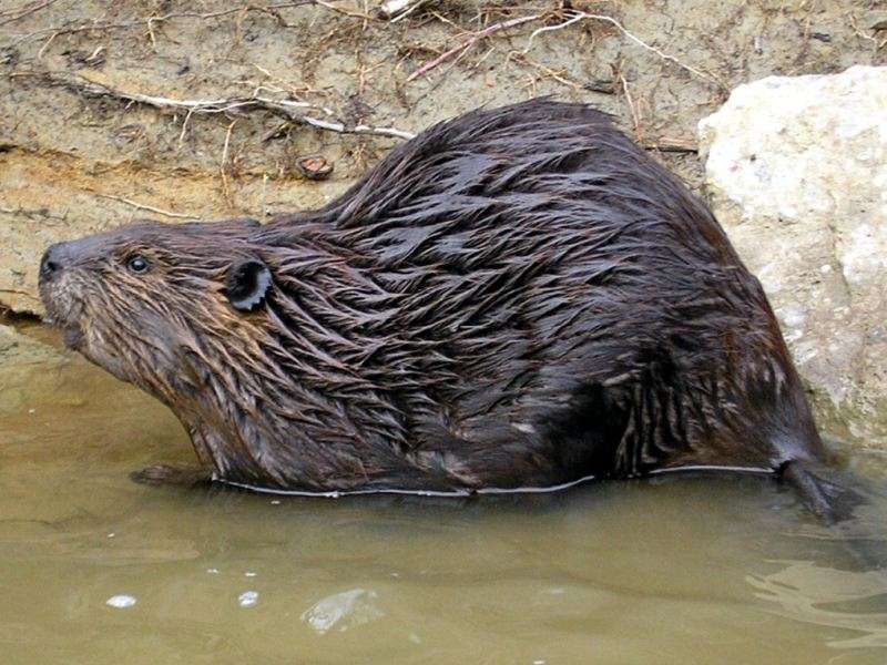 beaver-800x600