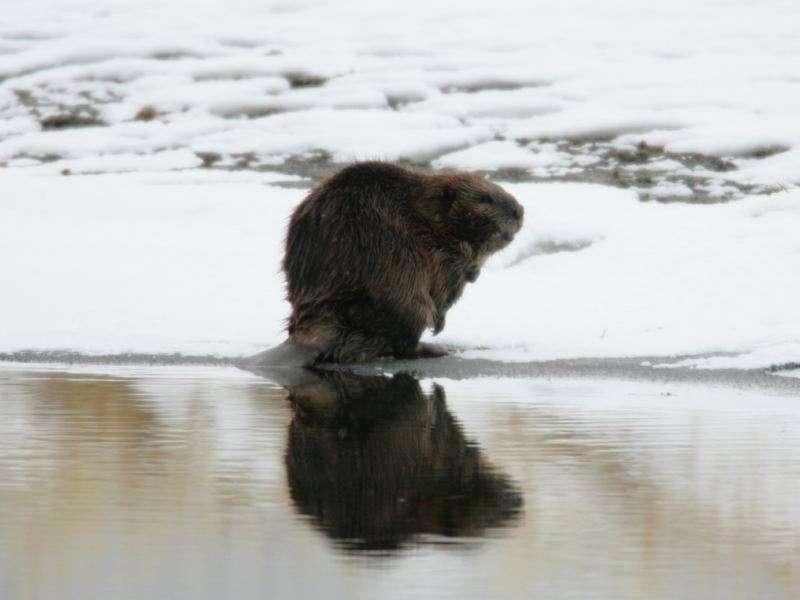 big-beaver-800x600