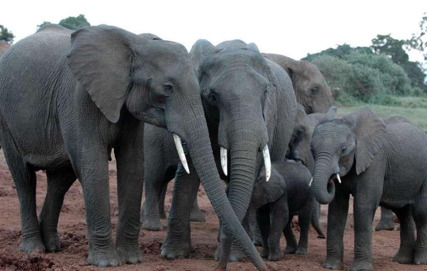 african_elephant-8