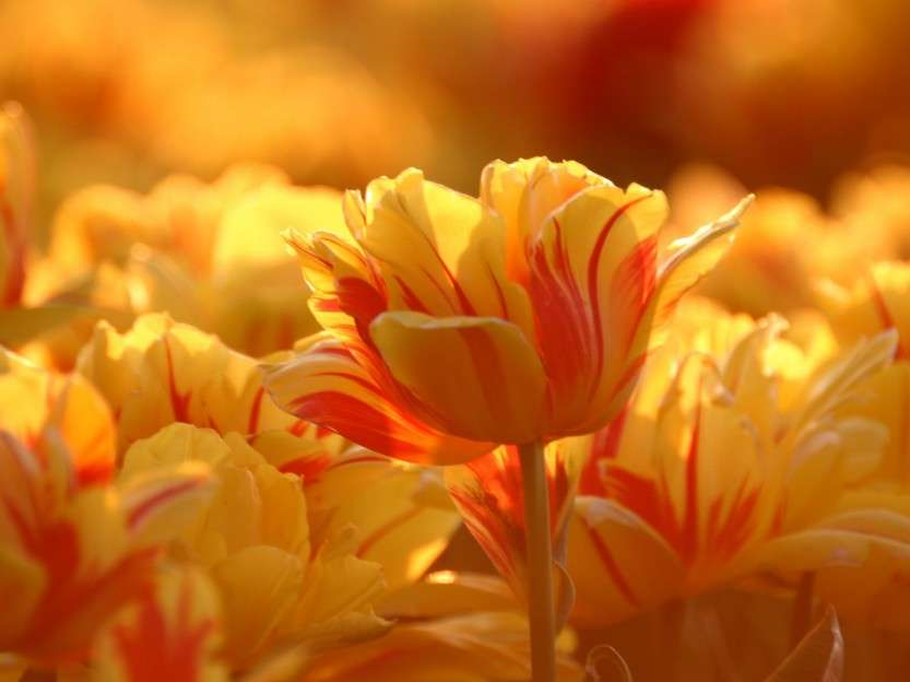 yr-tulips-1600