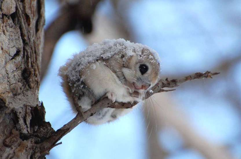 cute-japanese-dwarf-flying-squirrel