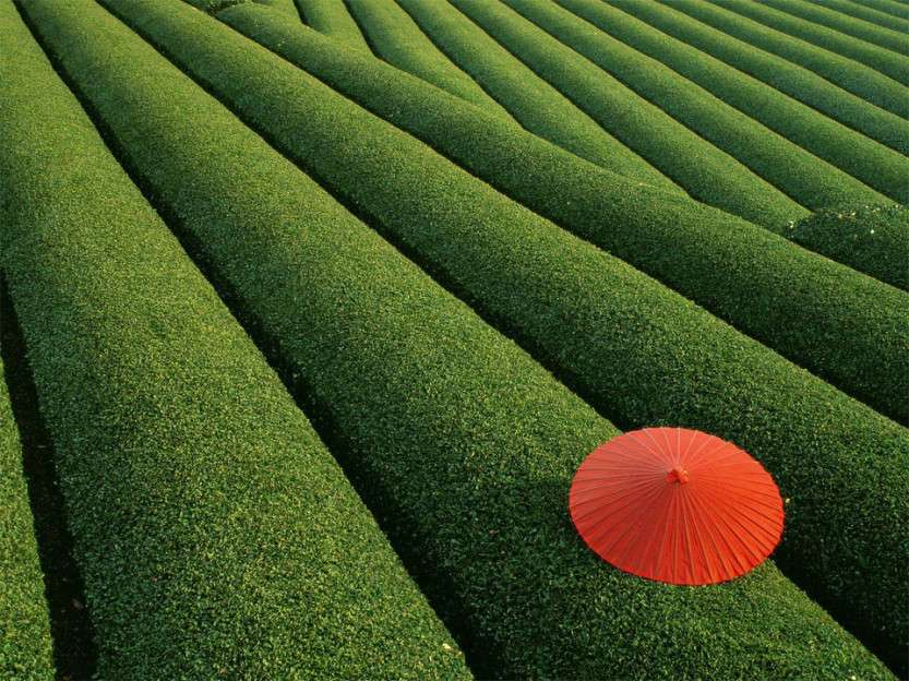 japanese-tea-field