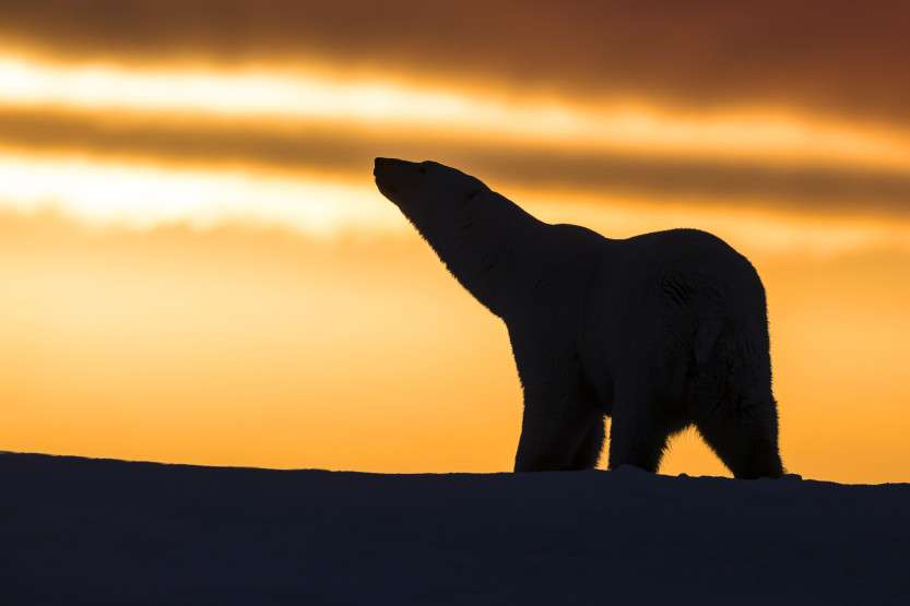 Polar Bears in Sunset