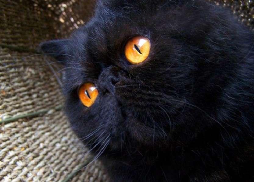 Черные персидские кошки?
