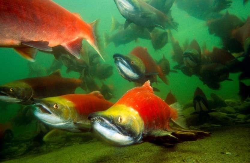 История самого смышлёного путешественника – лосося