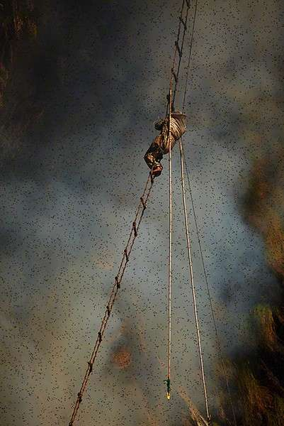 Honey hunter on a rope ladder