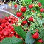Земляника – сладкая ягода